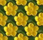 buttercup.jpg.c41087948e677260d96a29c6e5bb7f3b.jpg